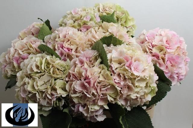 verena-antique-rose