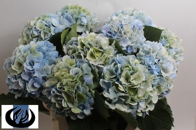 verena-blauw-classic